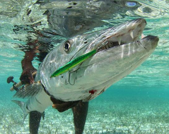 Fishing About Great Barracuda: Top 100 Salt Water Game Fish of All Time.  Article by The Editors posted April 3, 2013