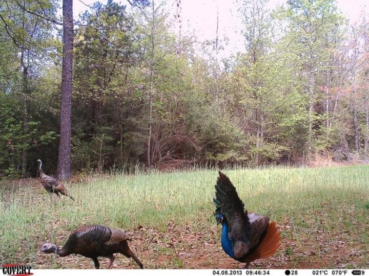 Hunting Best Spring Trail Cam Photos, Round 1, Countdown: 