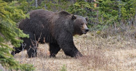 Hunting Grizzly Bears: Is it Time to Start Hunting Grizzlies in Montana?  Artyicle by Frank Miniter