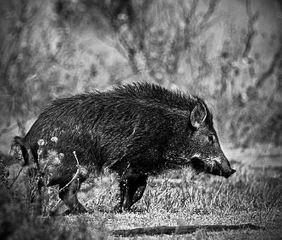 Hunting Hog Hunting Tips: How to Hunt Wild Pigs at Night.  Article by Brian McCombie