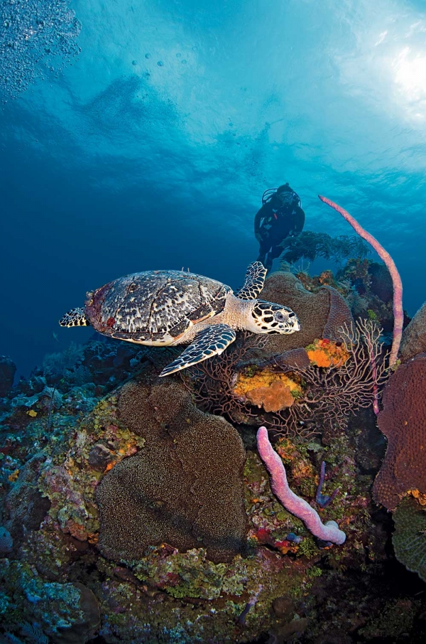 Scuba Brooke Morton and a Hawksbill turtle cruise the top of the wall at Omega Reef