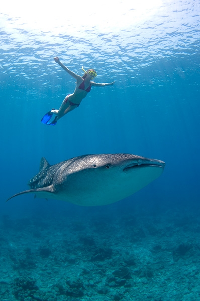 Scuba FREE DIVER AND WHALE SHARK - Maamigili, Maldives