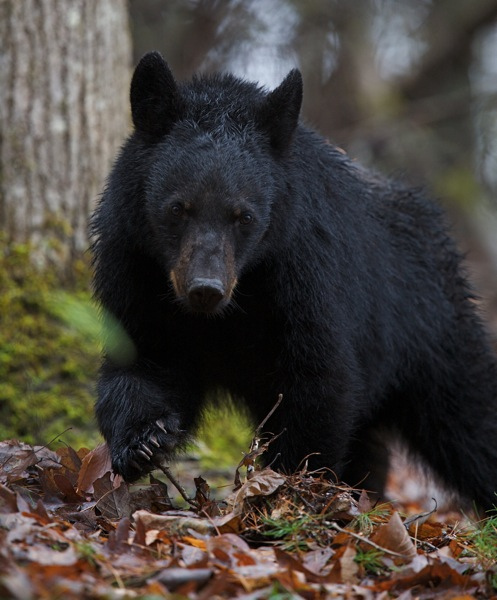 Hunting Black Bear, Extremely Close!
