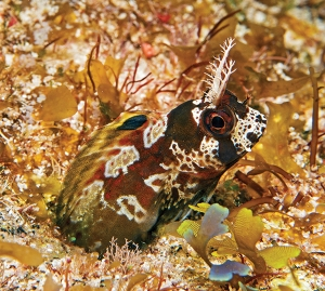 Scuba Critter Hunt: Blenny Quest.  Article by Ned and Anna DeLoach posted April 30, 2013