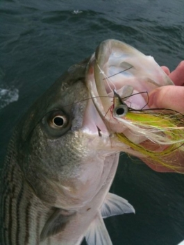 Flyfishing Fly Patterns for Spring Stripers.  Article by Pete Mcdonald posted May 15, 2013