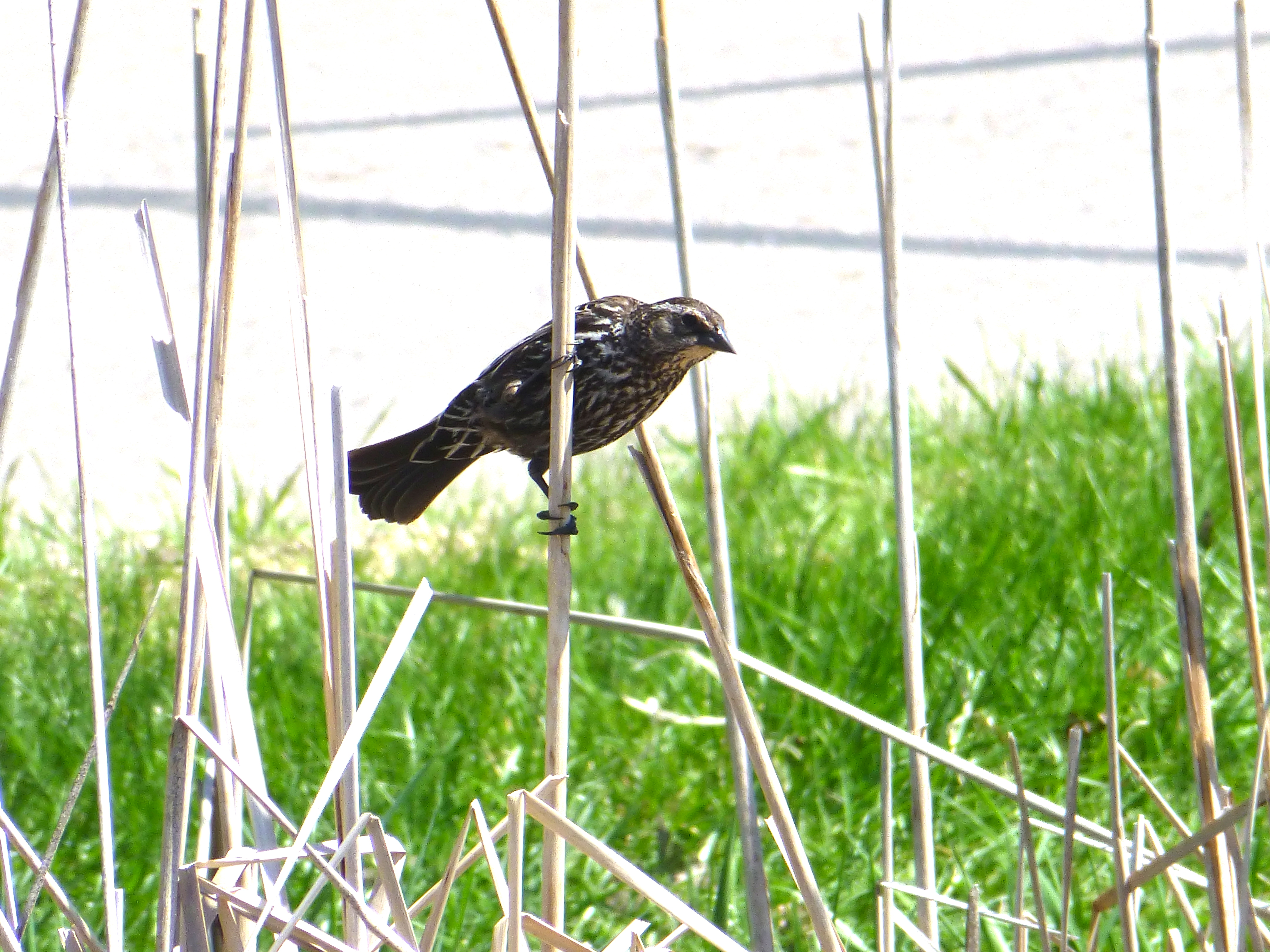 Camp and Hike Red-winged Blackbird (female)