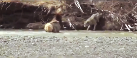 Hunting This wolf cornered an elk in a rushing river. See the video here: http://bit.ly/14tasBd