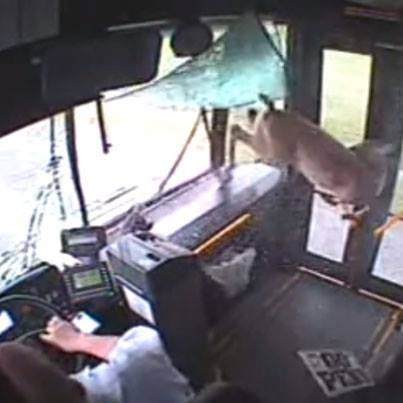 Hunting Check out this video of a whitetail deer jumping through a bus window: http://bit.ly/147pr42