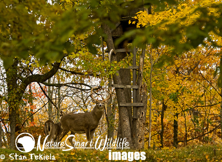 Hunting White-tailed Deer (Odocoileus virginianus) at deer stand in autumn
