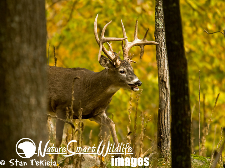Hunting White-tailed Deer (Odocoileus virginianus)
