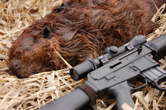 Hunting An Introduction To Beaver Hunting: http://bit.ly/16Exn0q