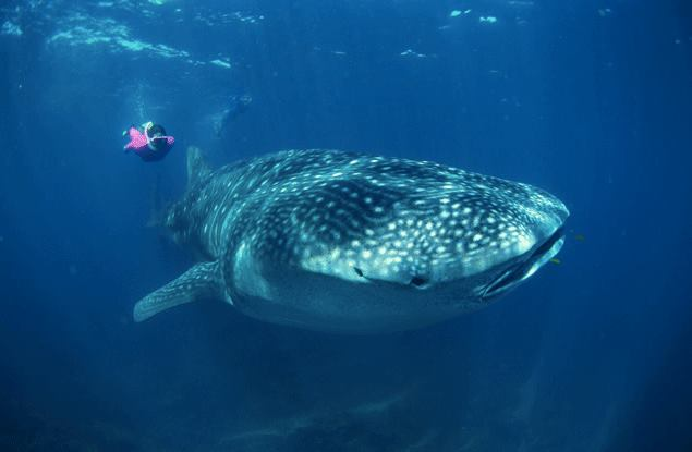 Scuba Thomas Peschak photographed a whale shark and snorkeler in Mozambique for our big-animal photo gallery. http://bit.ly/15eaNZa