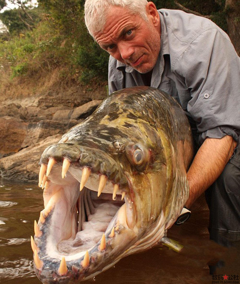 Fishing Jeremy Wade bravely poses with the 5ft long goliath tigerfish caught during an expedition up the River Congo in Africa