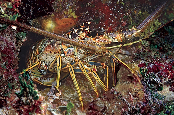 Scuba Until you've sunk your teeth into the ­butter-drenched goodness of a just-caught Caribbean spiny lobster, well, you haven't truly tasted the Bahamas