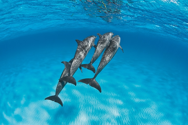 Scuba Bimini's famed pod of wild Atlantic spotted dolphins has frequented the area since the 1990s