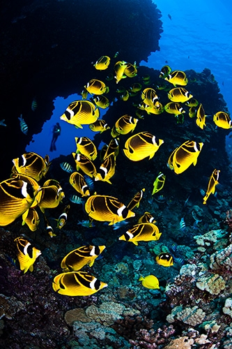 Scuba SCHOOLING RACCOON BUTTERFLYFISH IN A LAVA FORMATION