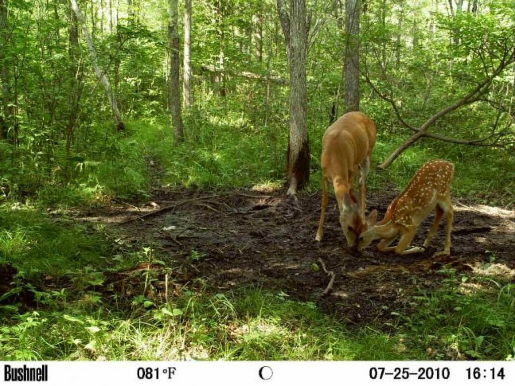 Hunting  I got this picture on my bushnell trail camera of a whitetail doe bonding with her baby fawn. How cute is this!!!!