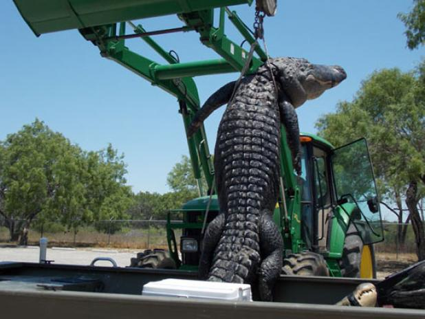 Hunting Texas Record Gator: Teen Lands 800-Pounder on First Hunt.  Article by CJ Lotz posted May 16, 2013