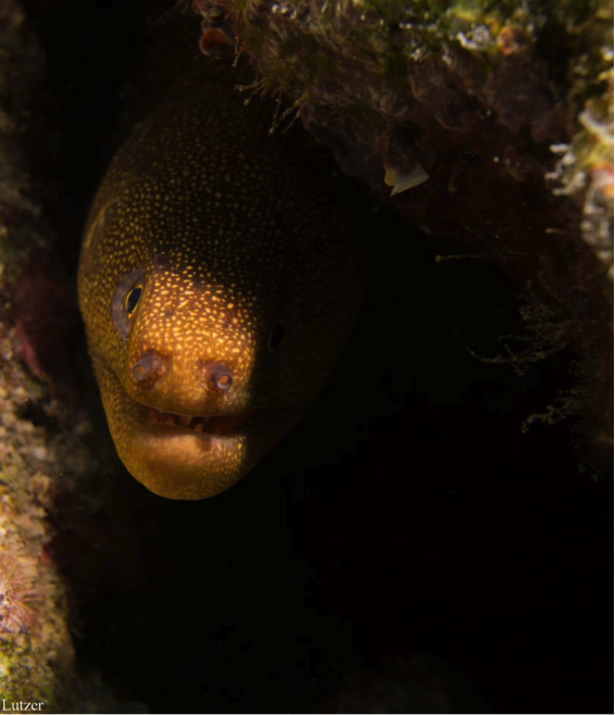 Scuba The Moray Eel.  Article by Jessica Shilling on May 19, 2013