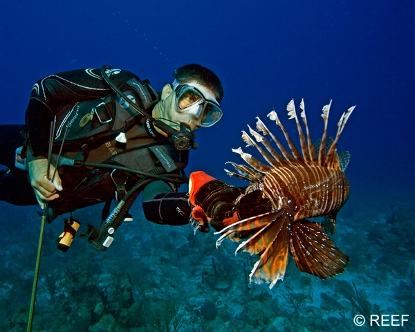 Scuba Lionfish are found year-round from North Carolina to South America, bounded only by their wide thermal tolerance