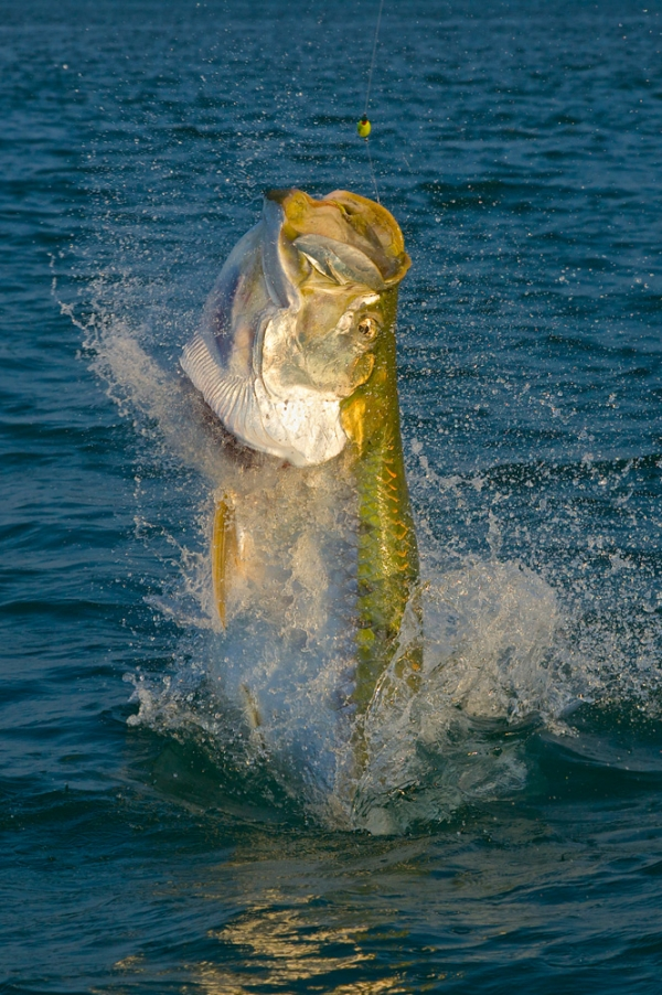 Fishing Pat Ford 200 plus pound Tarpon Catch