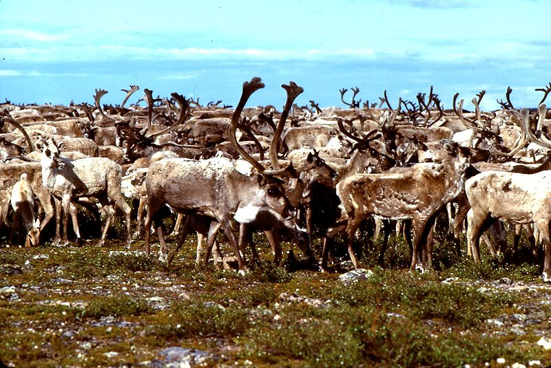 Hunting Why Has Baffin Island Lost Its Caribou Herd?