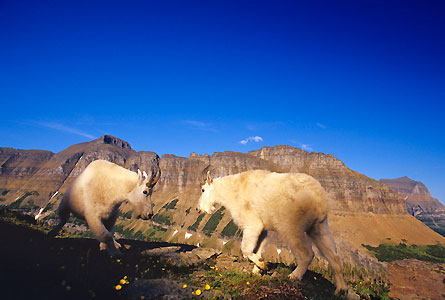 Camp and Hike Mountain goats on Logan Pass square off to the backdrop of Garden Wall