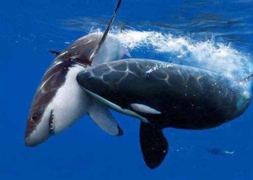 Scuba Wow Wednesday!  Check out this amazing image of an orca attacking a shark!