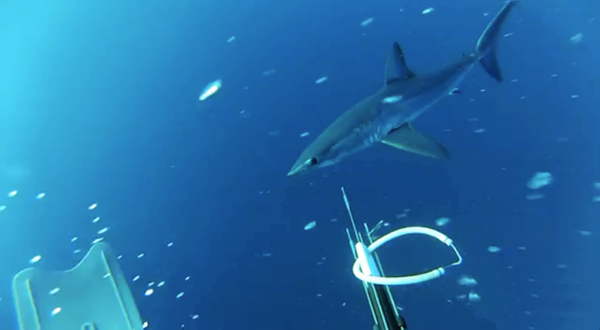Scuba The 8 coolest mako shark videos on the web. Check out our countdown here: http://bit.ly/198gGdf