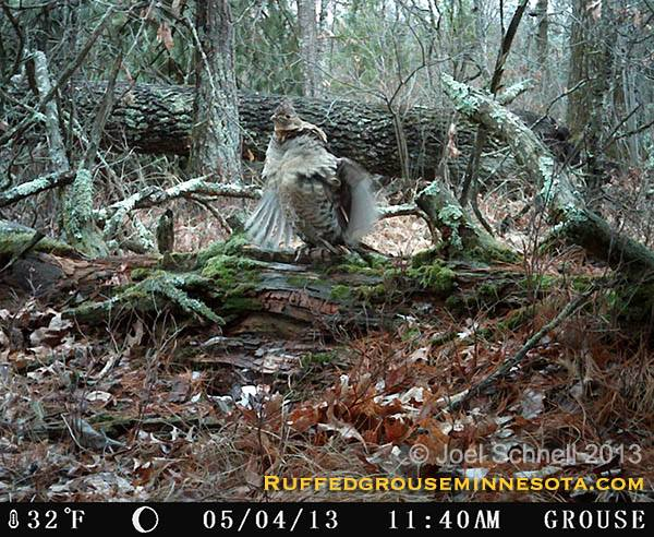 Hunting Ruffed Grouse on the Trail Cam