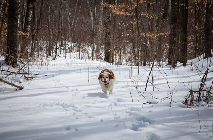 Entertainment Winter lingers long this year in Minnesota's ruffed grouse country. Maggie makes the best of it with a romp in the snow. Our walk in the woods yields the sounds of newly-arrived songbirds and the trickle of water running under the snow. The long daylight