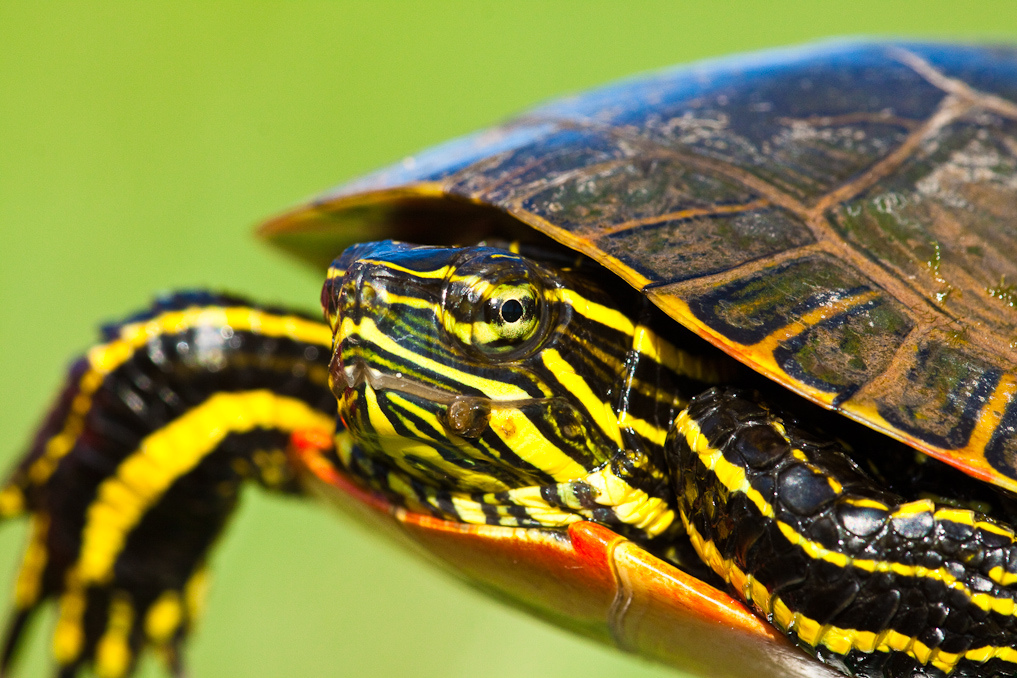 Camp and Hike A painted turtle (Chrysemys picta) in northern Wisconsin.