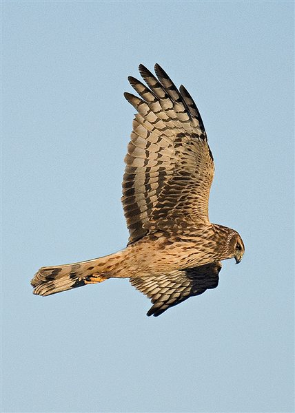 Camp and Hike Northern Harrier