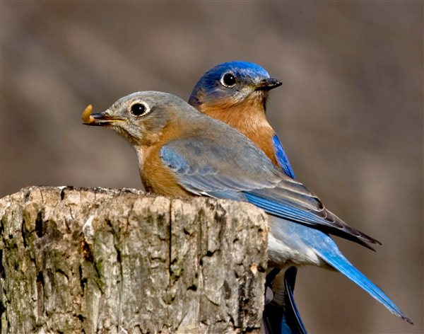 Camp and Hike Male and female Eastern Bluebirds perched on a old fence post.