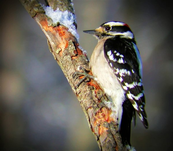 Camp and Hike Male Downy Woodpecker looking for insects on a dead tree branch.