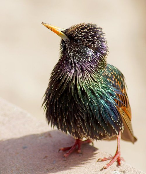 Camp and Hike European Starling