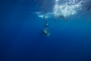 Scuba Ocean Ramsey - Great White Shark
