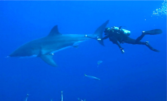 Scuba capt chris wade filming great white shark out of cage