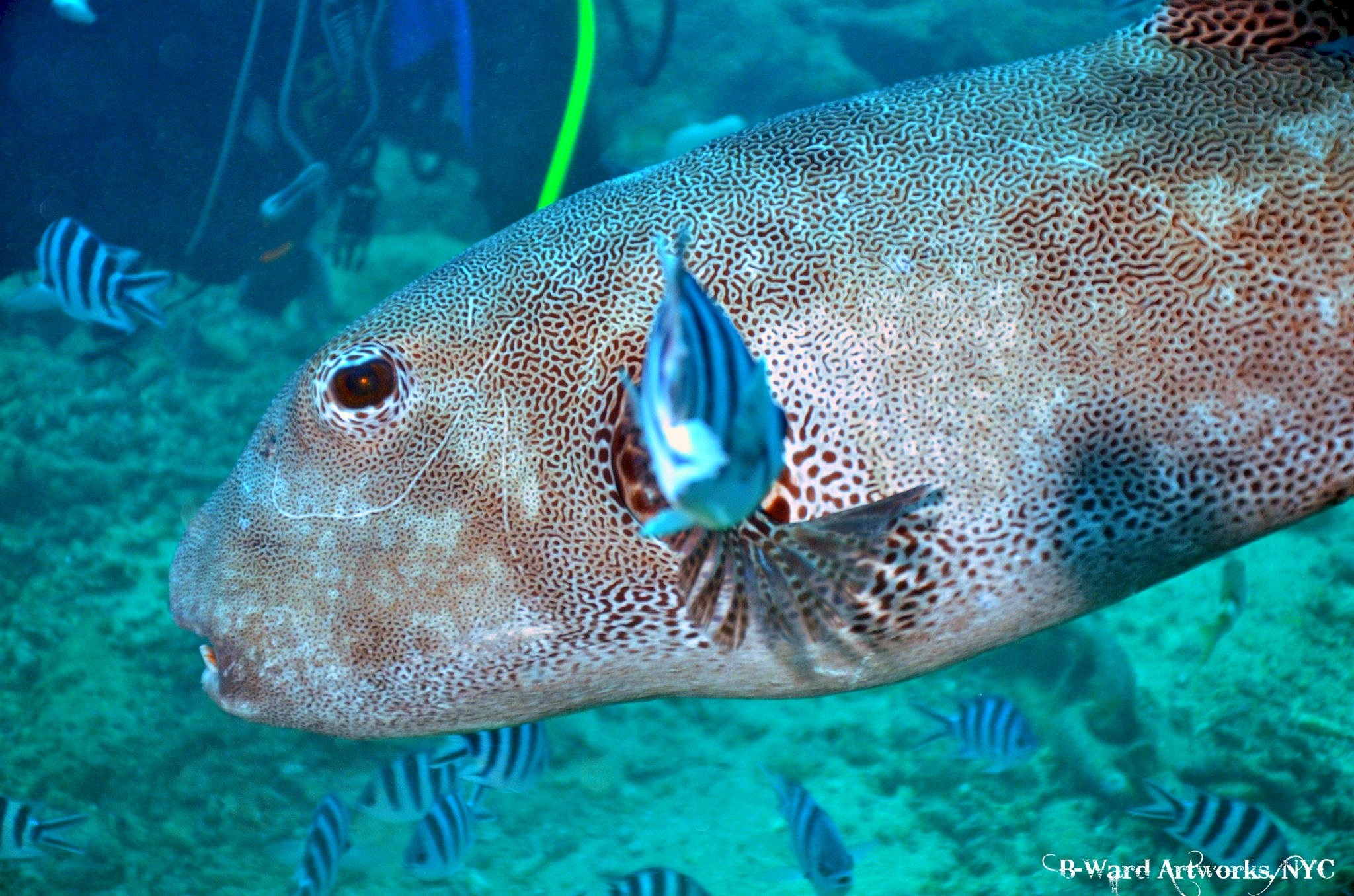 Scuba Cool Puffer hanging out with me on shark dive at Beqa Lagoon, Fiji