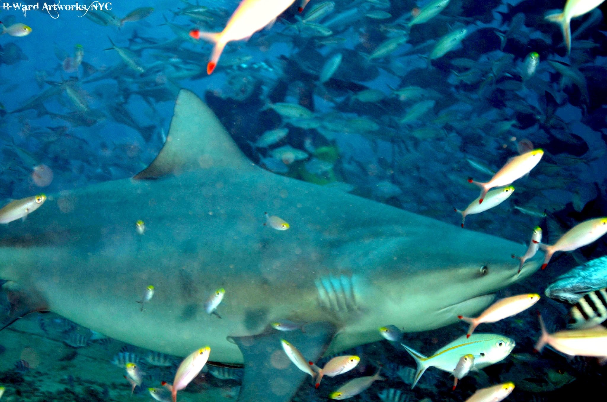 Scuba Big Bull Sharks at the shark dive in Beqa Lagoon, Fiji