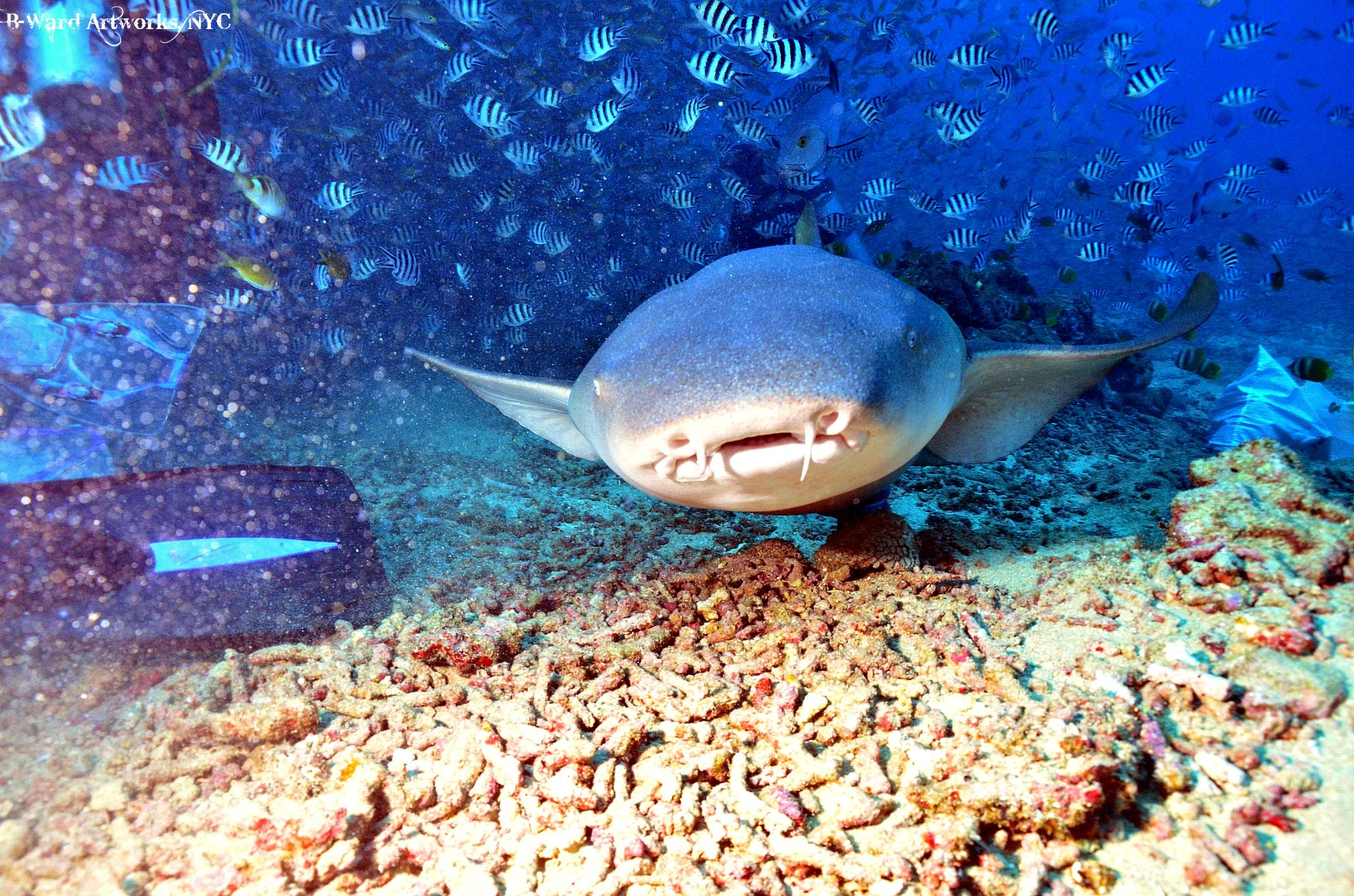 Scuba Nurse Shark coming in close to give me a kiss!