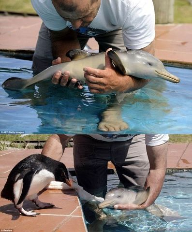 Entertainment Baby penguin meets a baby dolphin