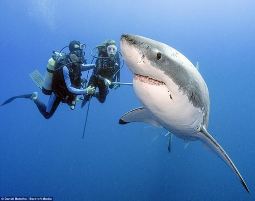 Scuba great white