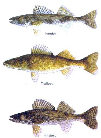 Fishing saugeyes - cross between male sauger and female walleye - dont have spots on the dorsal (maybe a few at the base) like a walleye but have blotches on the sides like a sauger.