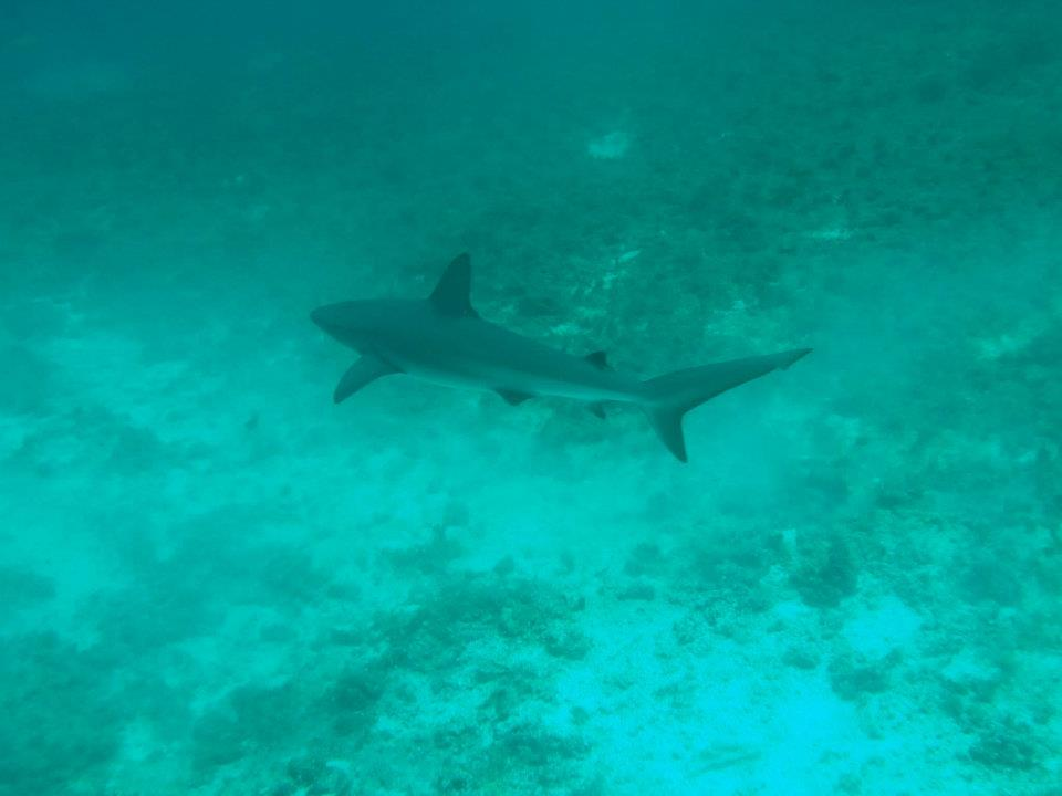 Scuba Black tip reef shark Abacos, Bahamas with Brendal's Dive Shop