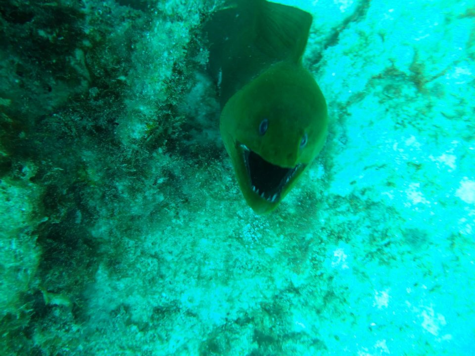 Scuba Green Moray EEl in Abacos, Bahamas, with Brendal's Dive Center