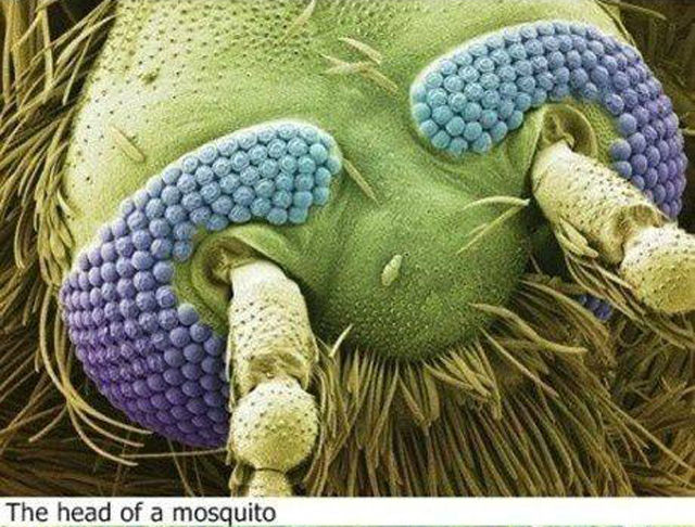 Entertainment HEAD OF A MOSQUITO