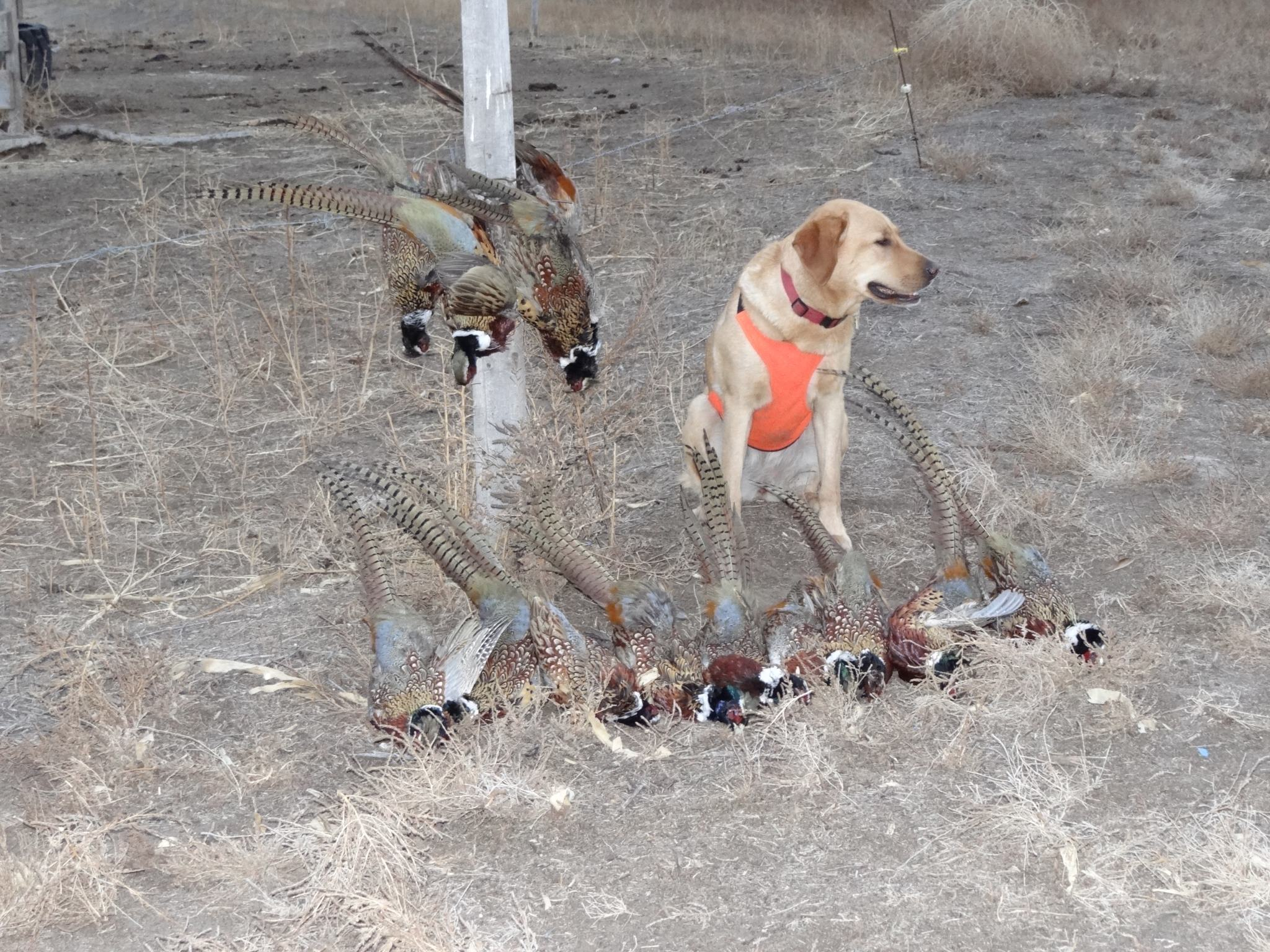 Hunting Pheasants Forever