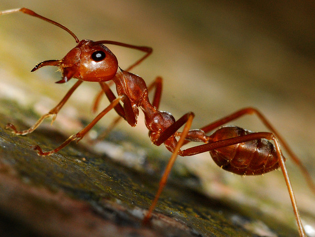 Entertainment RED ANT