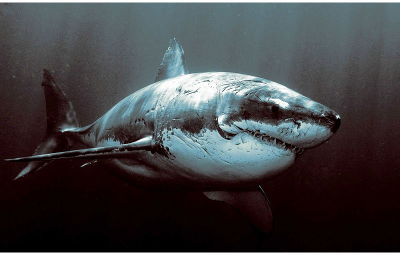 Scuba THE MIGHTY GREAT WHITE SHARK